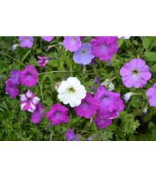 Petúnia veľkokvetá nízka - Petunia hybrida nana - semiačka - 0,1 g