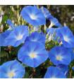 Povojník modrý - Ipomoea rubro coerulea - semiačka - 25 ks
