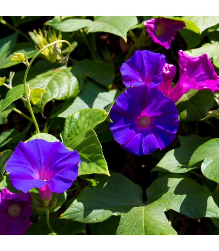 Povojník purpurový Kniolas Black - Ipomoea purpurea - semiačka - 0,5 gr