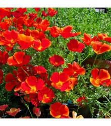 Slncovka kalifornská červená - Eschscholzia californica - semiačka - 450 ks