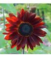 Slnečnica ročná F1 červená Double dandy - Helianthus annuus - semiačka - 6 ks