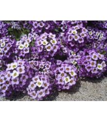 Lobulária prímorská fialová - Alyssum maritimum - semiačka - 1 g