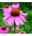 Echinacea purpurová - Echinacea purpurea - semiačka - 15 ks