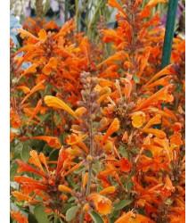 Agastache Apricot - Agastache aurantiaca - semiačka - 20 Ks