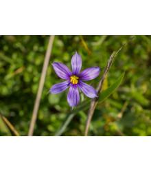 Badil - Sisyrinchium angustifolium - semiačka - 10 ks