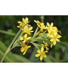 Badil žltý - Sisyrinchium californicum - semiačka - 10 ks