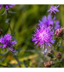 Nevädza lúčna modrá - Centaurea jaceae - semiačka - 200 ks