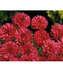 More about Nevädza poľná červená - Centaurea cyanus - semiačka - 100 ks