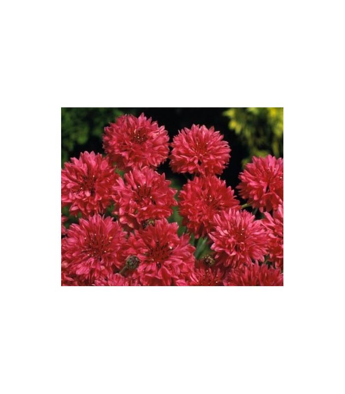 Nevädza poľná červená - Centaurea cyanus - semiačka - 0,5 gr
