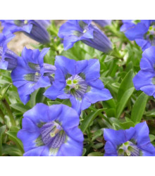 Horec úzkolistý - Gentiana angustifolia - semiačka - 8 ks