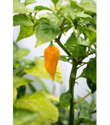 Chilli Bhut Jolokia žltá - Capsicum chinense - Semená - 5 ks