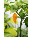 Chilli Bhut Jolokia žltá - Capsicum chinense - chilli papričky - 5 ks