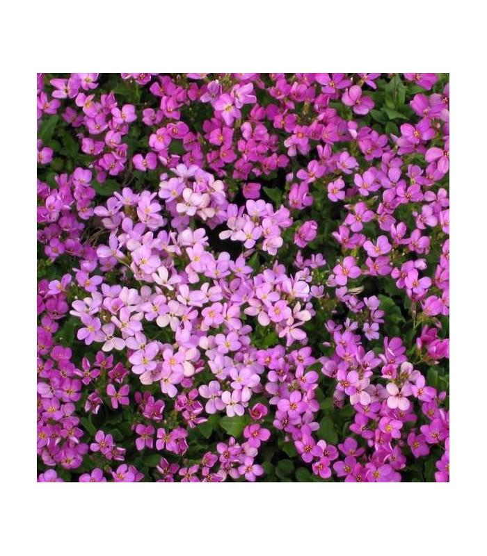 Arábka ružová - Arabis arendsii - semiačka - 0,03 gr