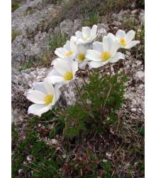 Poniklec alpský - Pulsatilla vulgaris - semiačka - 10 ks