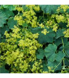 Alchemilka mäkká - Alchemilla mollis - semiačka - 20 ks