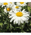 Margaréta biela Alaska - Chrysanthemum leucanthemum max. - semiačka - 0,4 gr