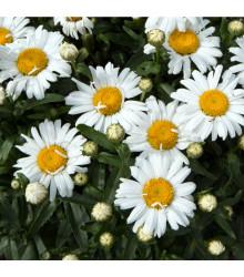 Margaréta biela hviezda z Antverp - Chrysanthemum leucanthemum max. - semiačka - 0,4 gr