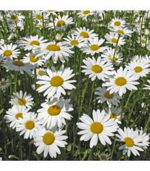Margaréta biela kráľovná - Chrysanthemum leucanthemum max. - semiačka - 600 ks