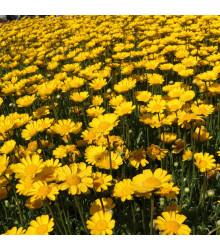 Margaréta nízka zlatožltá - Chrysanthemum multicaule - semiačka - 0,4 gr