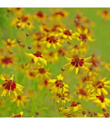 More about Krásnoočko dvojfarebné nízke - semiačka - 50 ks