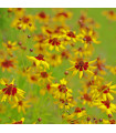 Krásnoočko dvojfarebné nízke - semiačka - 50 ks