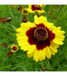 Krásnoočko dvojfarebné vysoké - semiačka - 50 ks