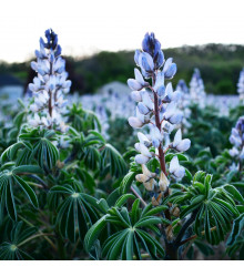 Lupina úzkolistá modrá - Lupinus angustifolia - semiačka - 20 ks