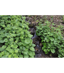 Mitrovka veľkokvetá - Tellima grandiflora - semiačka - 0,02 g
