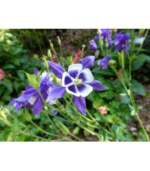 Orlíček obyčajný Blue Star modrý - Aquilegia vulgaris - semiačka - 30 ks