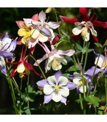 Orlíček veľkokvetý - zmes farieb - Aquilegia caerulea - semiačka - 250 ks