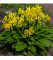 Prvosienka jarná - Primula veris - semiačka - 0,05 gr