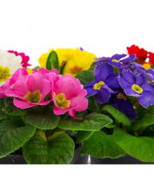 Prvosienka veľkokvetá Oxlip - Primula elatior - semiačka - 60 ks
