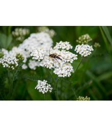 Rebríček obyčajný biely - Achillea millefolium - semiačka - 0,5 gr