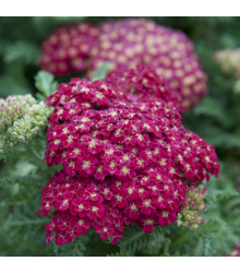 Rebríček obyčajný Cerise Queen - Achillea millefolium -semiačka - 0,1 g