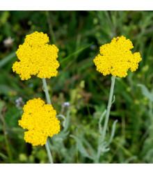 Rebríček túžobníkový Parkers žltý - Achillea filipendulina - semiačka - 0,5 gr