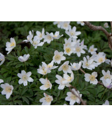 Veternica hájna - Anemone nemorosa - semiačka - 10 ks
