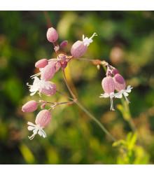 Silenka nadutá - Silene vulgaris -semiačka - 0,5 gr