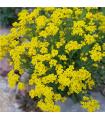 Tarica - Alyssum saxatile - semiačka - 1 gr