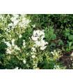 Túžobník obyčajný - Filipendula vulgaris - semiačka - 0,3 gr
