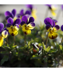 Sirôtka rohatá Johnny Jump - Viola cornuta - semiačka - 300 ks