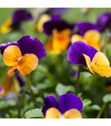 Fialka rohatá zmes farieb - Viola cornuta - semiačka - 300 ks