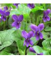 Fialka voňavá Kráľovná Šarlota - Viola odorata - semiačka - 0,2 gr