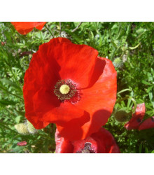 Vlčí mak červený - Papaver rhoeas - semiačka - 0,2 gr