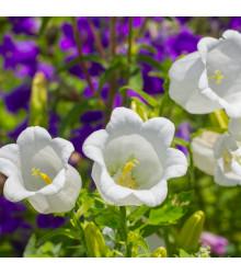 Zvonček karpatský biely - Campanula carpatica - semiačka - 400 ks
