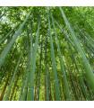 Bambus najvyšší - Dendrocalamus giganteus - semiačka - 2 ks