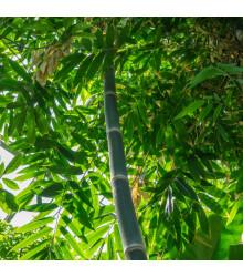 More about Bambus železný - Dendrocalamus strictus - semiačka - 2 ks
