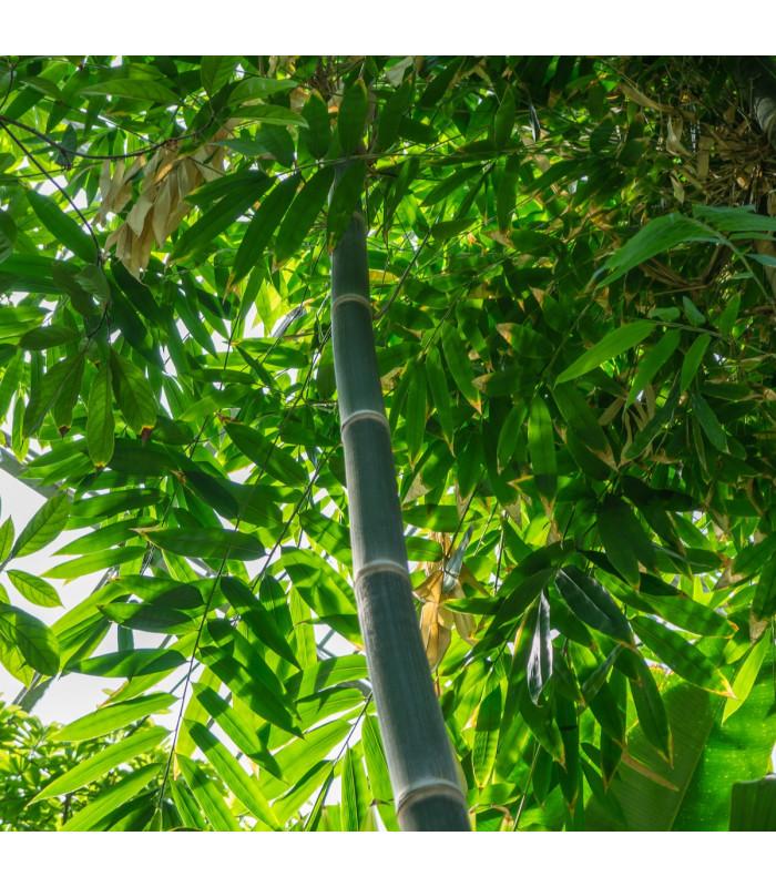 Bambus železný - Dendrocalamus strictus - semiačka - 2 ks