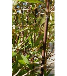 Bambus horský - Fargesia fungosa - semiačka - 3 ks