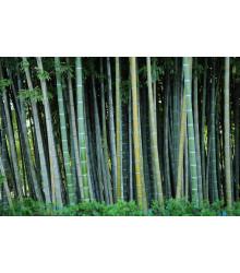 Kráľ bambusov - Phyllostachys pubescens - semiačka - 3 ks