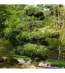 Borovica japonská čierna - Pinus thunbergii - semiačka - 5 ks